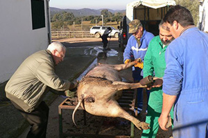 Tradiciones rurales. Matanza del cerdo